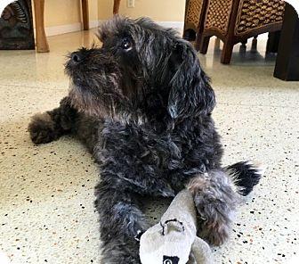 Cockapoo Mix Dog for adoption in Boynton Beach, Florida - Boo Bear