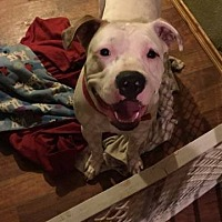 Pit Bull Terrier Mix Puppy for adoption in Centerburg, Ohio - Tyde