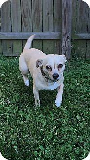 Chihuahua Mix Dog for adoption in Va Beach, Virginia - Jack