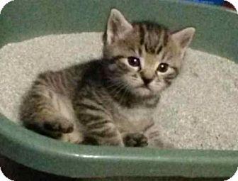 Domestic Mediumhair Kitten for adoption in McArthur, Ohio - Kittens