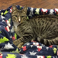 Domestic Shorthair Cat for adoption in Miami Shores, Florida - Kringle