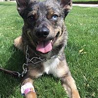 Australian Cattle Dog Mix Puppy for adoption in Phoenix, Arizona - Dizzy