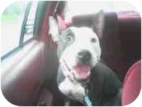 American Staffordshire Terrier Mix Dog for adoption in Long Beach, New York - Maxine
