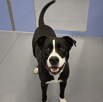 Labrador Retriever Mix Dog for adoption in Winter Haven, Florida - Gambit