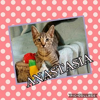 Domestic Shorthair Cat for adoption in Kennedale, Texas - Anastasia