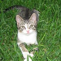 Adopt A Pet :: Patrick - Parlier, CA