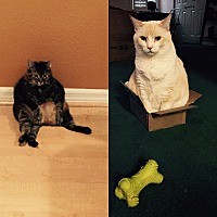 Domestic Mediumhair Cat for adoption in Lakeland, Florida - Zack & Zoey