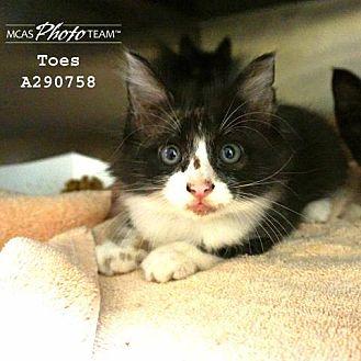 Domestic Mediumhair Kitten for adoption in Conroe, Texas - TOES