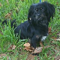 Adopt A Pet :: LUNA MOON - Houston, TX