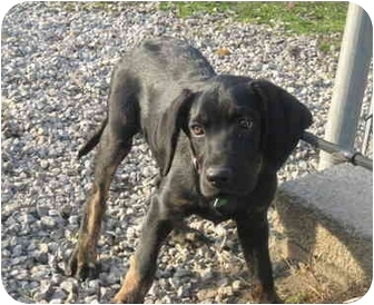 Labrador Retriever Mix Puppy for adoption in Portsmouth, Rhode Island - Muddy