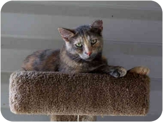 Domestic Shorthair Cat for adoption in Aldie, Virginia - Tortellini