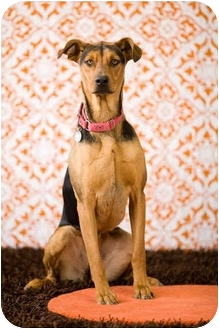 Doberman Pinscher/German Shepherd Dog Mix Dog for adoption in Portland, Oregon - Sophie