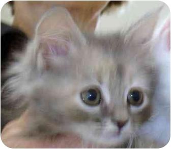 Domestic Shorthair Kitten for adoption in Richmond, Virginia - Tori