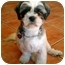 Photo 3 - Shih Tzu Dog for adoption in Los Angeles, California - Dolly