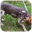 Photo 2 - Beagle/Chinese Crested Mix Dog for adoption in Ventnor City, New Jersey - GABE