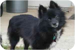 Pomeranian Dog for adoption in Lake Jackson, Texas - Tooey