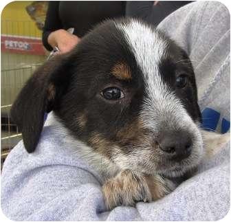 Spaniel (Unknown Type)/Shepherd (Unknown Type) Mix Puppy for adoption in Lincolnton, North Carolina - Oreo