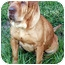 Photo 1 - Shar Pei Dog for adoption in Gainesville, Florida - Ava