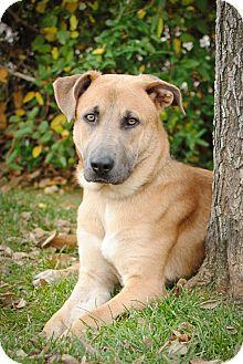German Shepherd Dog/American Pit Bull Terrier Mix Dog for adoption in Denver, Colorado - Harley