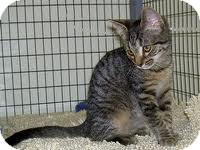 Domestic Shorthair Kitten for adoption in Lancaster, Massachusetts - Apple