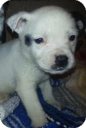 Border Collie/Boxer Mix Puppy for adoption in Chicago, Illinois - Badger(ADOPTED!)
