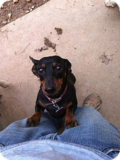 Dachshund Dog for adoption in Concord, Georgia - Ginger Snaps