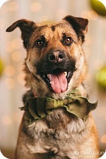 German Shepherd Dog/Australian Shepherd Mix Dog for adoption in Portland, Oregon - Oliver Twist