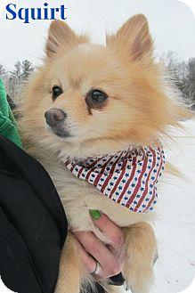Pomeranian Mix Dog for adoption in Menomonie, Wisconsin - Squirt