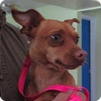 Adopt A Pet :: Flash - batlett, IL