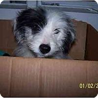Adopt A Pet :: Shaggy - Honaker, VA