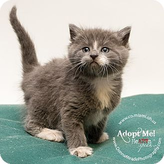 Domestic Shorthair Kitten for adoption in Troy, Ohio - Colby
