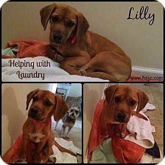 Beagle/Labrador Retriever Mix Puppy for adoption in Jefferson, Georgia - Lily
