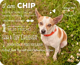 Chihuahua/Rat Terrier Mix Dog for adoption in Friendswood, Texas - Chip
