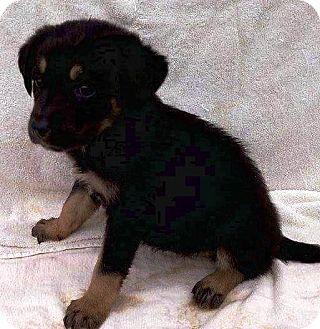 German Shepherd Dog/Golden Retriever Mix Puppy for adoption in Oswego, Illinois - I'M ADPTD Stly Pup Kane Worman