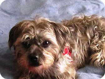 Shih Tzu/Havanese Mix Dog for adoption in Eden Prairie, Minnesota - HERBIE