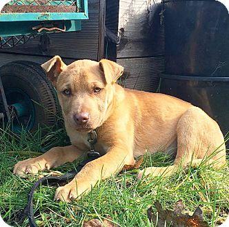German Shepherd Dog/Chesapeake Bay Retriever Mix Puppy for adoption in Eugene, Oregon - Pony