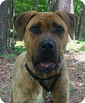 Mastiff Mix Dog for adoption in Allentown, Pennsylvania - Boz