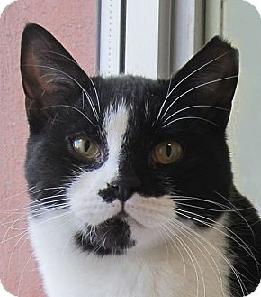 Domestic Shorthair Cat for adoption in Norwalk, Connecticut - Hubbell