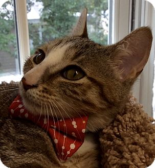 Domestic Shorthair Kitten for adoption in Beaufort, South Carolina - Peter