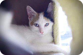 Domestic Shorthair Kitten for adoption in Wichita, Kansas - Nisha