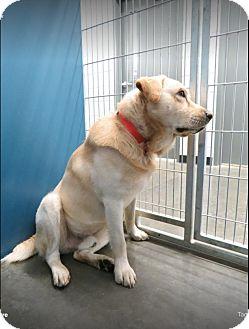 Labrador Retriever Mix Dog for adoption in Alexandria, Virginia - Tucker