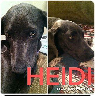 Weimaraner Dog for adoption in Mesa, Arizona - HEIDI 1 1/2 WEIMARANER FEMALE