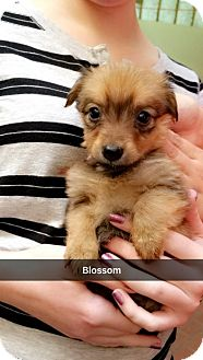Terrier (Unknown Type, Medium) Mix Puppy for adoption in Chico, California - Blossom