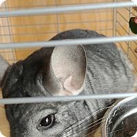 Chinchilla for adoption in Ogden, Utah - Munk and Gizmo