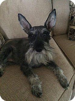 Schnauzer (Miniature) Mix Dog for adoption in Spring Valley, New York - Clarke