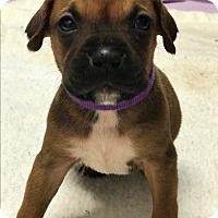 Adopt A Pet :: Meadow - ST LOUIS, MO