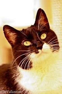 Domestic Shorthair Cat for adoption in Norman, Oklahoma - Gabby