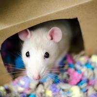 Adopt A Pet :: Pattycake - bonded pair - Arlington, VA