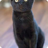 Adopt A Pet :: Veyron ~ lap kitten - Troy, MI