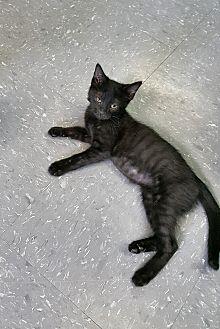 "Bombay Kitten for adoption in Scottsburg, Indiana - ""  Sebastian  """